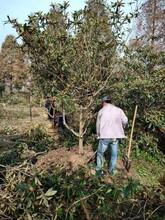 平顶山枇杷树哪里有卖品种劣秀劣秀枇杷树图片