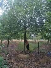 武汉香樟品种优良樟木现货供应图片