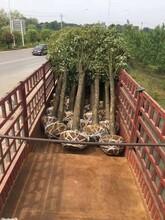 荆门香樟供货商现货供应樟木图片