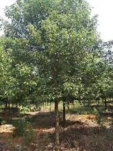 上饶香樟价格优惠樟木图片