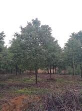南昌香樟种植地樟木图片