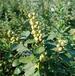 丽江单叶蔓荆子苗种植基地单叶蔓荆