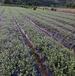 雅安单叶蔓荆子苗种植基地单叶蔓荆