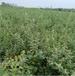廣元單葉蔓荊子苗種植基地單葉蔓荊