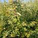 眉山單葉蔓荊子苗批發價格單葉蔓荊
