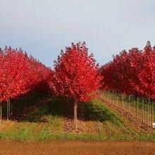北海红枫苗木价格
