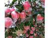 嘉峪關蘋果多少錢一箱