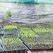 山东梓树根苗种植基地