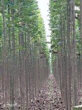 濮阳楸树嫁接苗种植基地
