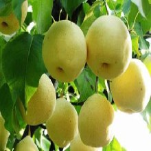潮州酥梨批发价格