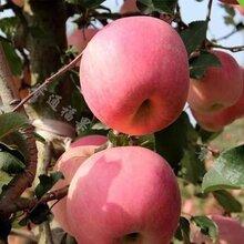 菏泽苹果量大从优