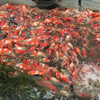 苏州锦鲤鱼场直销中心