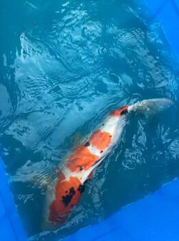 日本锦鲤观赏鱼锦鲤养殖场