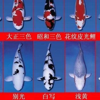 观赏鱼苏州日本锦鲤鱼场