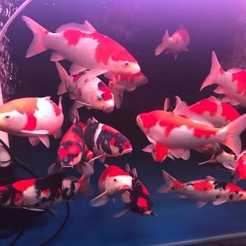 苏州观赏鱼锦鲤鱼场