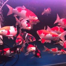 苏州渔乐日本锦鲤养殖场图片