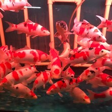 日本錦鯉養殖場圖片