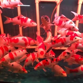 日本锦鲤养殖场
