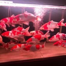 蘇州日本錦鯉養殖場圖片