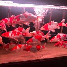 苏州日本锦鲤养殖场图片