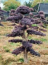 桂林市造型红花继木种植基地红花继木桩