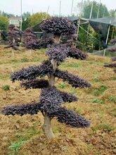 湖北造型红花继木种植基地
