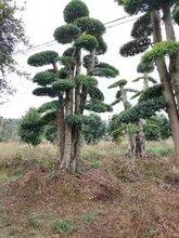 杭州市造型小叶女贞基地批发小叶女贞造型树