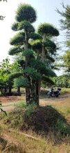 深圳市哪里有造型小叶女贞基地直销小叶女贞造型树