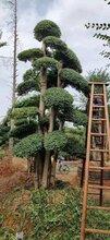 雷山市哪里有造型小叶女贞种植基地小叶女贞造型树