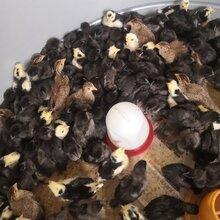 观赏珍禽养殖场鸡苗出壳鸡苗价格芦花鸡苗绿壳蛋鸡苗红玉鸡苗厂家批发图片