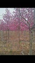 江苏红玉兰树出售报价图片