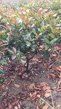河南红叶石楠小苗价格图片