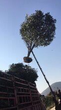云南桂花树种植图片