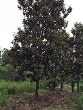 云南广玉兰树种植图片
