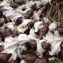 蜗牛人工养殖白玉蜗牛养殖图片