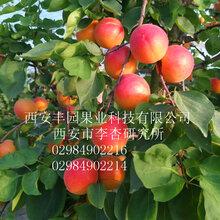 丰园红杏苗图片
