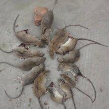 专业消杀灭鼠价格