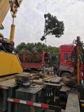 武汉一年生白玉枇杷苗基地直销江西白玉枇杷苗供应商