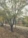 內蒙古櫻花樹種植基地