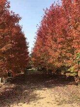 吉林美国红枫种植基地