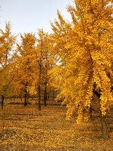 昆明银杏树批发价格