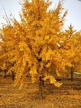 安徽银杏树批发价格银杏大树