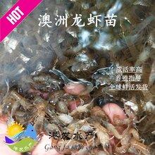 淡水大龙虾苗求购_现在澳龙虾苗一只价钱_虾苗图片
