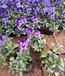 供應角堇苗大量批發角堇價格自產自銷園林綠化