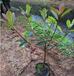 立體綠化紅葉石楠球批發園林工程綠化灌木