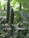 金剛鉆1901金剛鉆F1嫁接黃瓜專用砧木種子出芽整齊耐寒耐高溫性好根系旺接瓜油亮