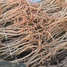 葡萄树苗的价格葡萄树苗的品种图片