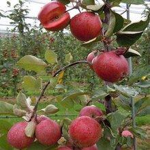供应1-5公分苹果树苗苹果树苗的价格苹果树苗的品种图片