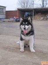 山東哪里有賣阿拉斯加犬的圖片
