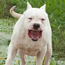 河北杜高犬出售图片